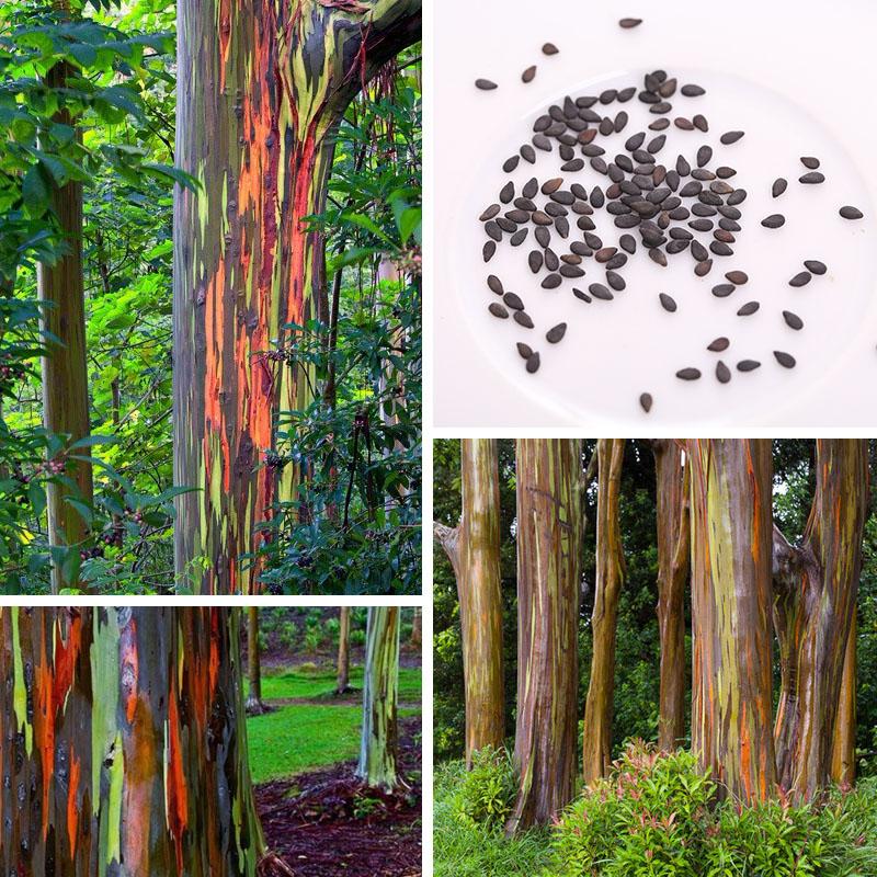 unids hawaii rainbow increble fcil de cultivar semillas de rboles de eucalipto decoracin de jardn
