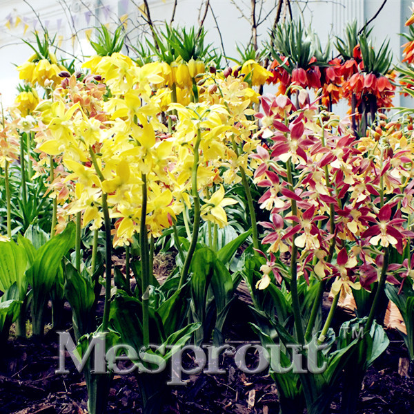 New! 100PCS Crown Imperial Seeds Wang Fritillaria Seeds Easy To Grow Home Garden Ground Cover Plant See Rare Plant Seeds