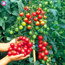 200pcs mini tomato seeds Virgin fruit seeds natural organic vegetable seeds New varieties plant for spring farm High germination