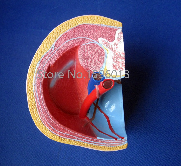 Мужская модель таза, анатомический средний раздел мужской модели таза