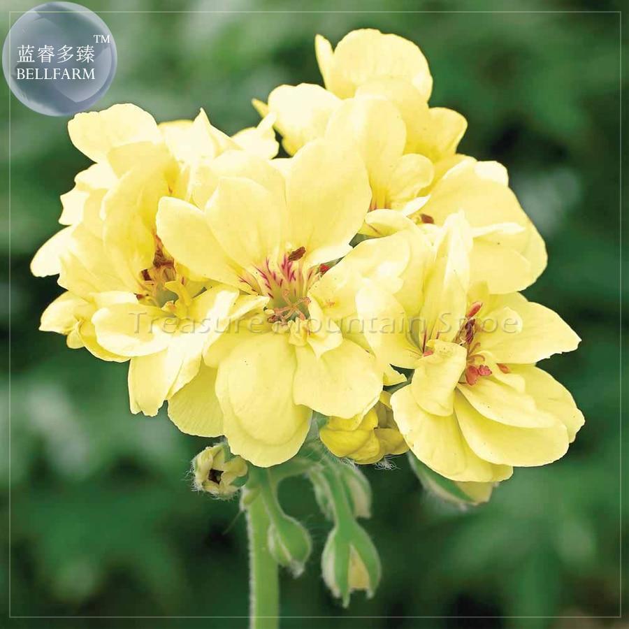 Bellfarm Geranium Custard Cream Bonsai Flowers 10pcspack