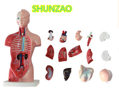 Human Torso model 28CM human internal organs Human Anatomy Torso anatomical model for  Medical Science School Learn
