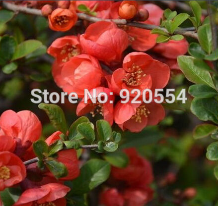 Flowering Quince Fruit