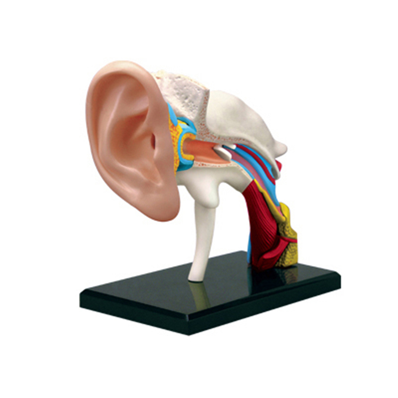 4D Ear Canal Intelligence Assembling Toy Human Organ Anatomy Model Medical Teaching DIY Popular Science Appliances