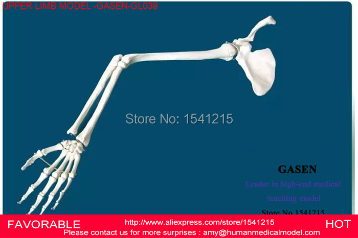 LIFE SIZE HUMAN ANATOMICAL ANATOMY ARM UPPER LIMB SKELETON MEDICAL MODEL,HUMAN BONES SKELETON UPPER LIMB MODEL-GASEN-GL039 1 2 life size knee joint anatomical model skeleton human medical anatomy for medical science teaching
