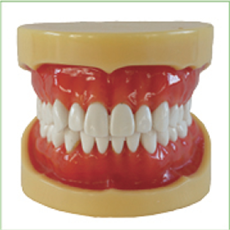 1pc Removable Model,28pcs,Hard Gum,teeth models Teeth Jaw Models for dental school teaching dentist dental teeth Models 13007 dh106 hard gum 32pcs teeth standard jaw model medical science educational dental teaching models