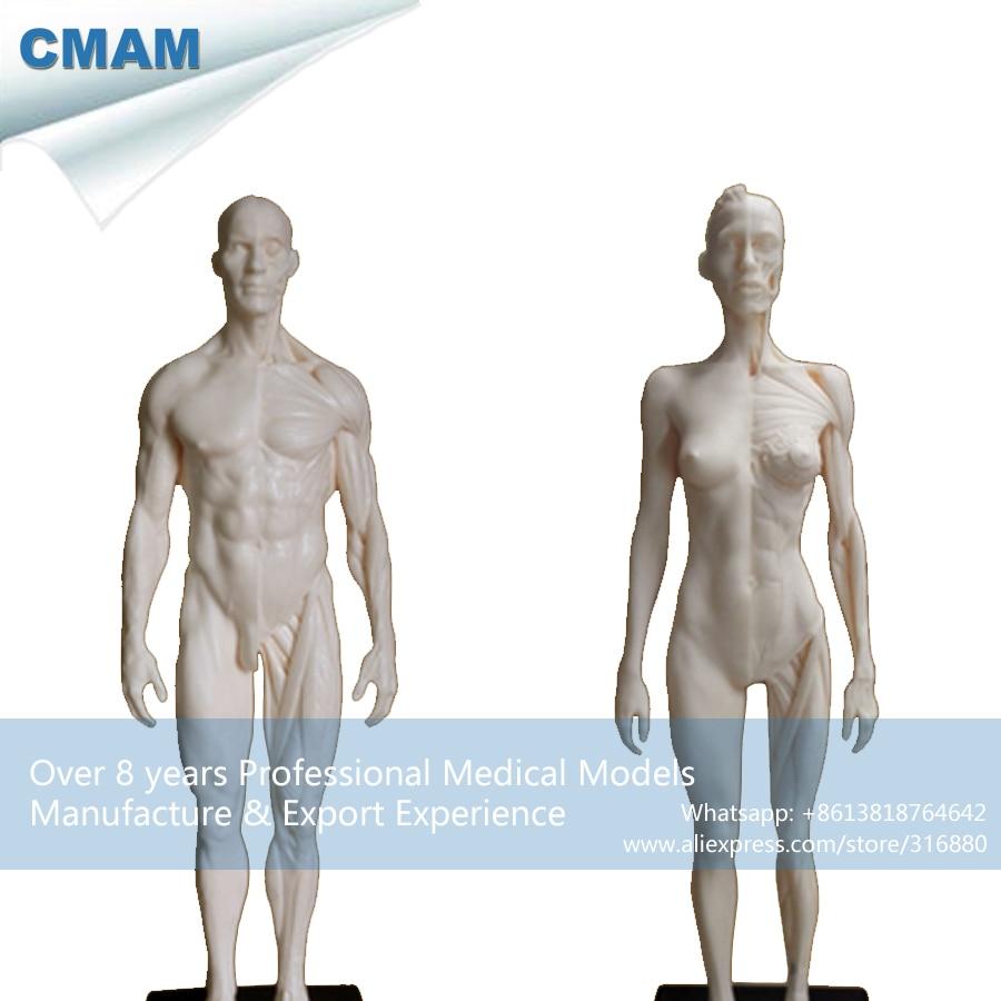CMAM-PRC20 Weiß 1:6 PU Material Menschliche Männliche + Weibliche Anatomie Schädel Kopf...