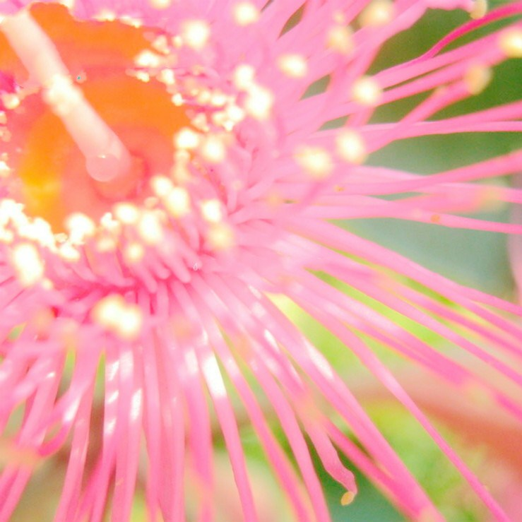 50-eucalipto-Deglupta-rbol-una-bolsa-arco-iris-rbol-gigante-cucaracha-repelente-al-Color-de-la(2)