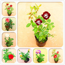 200 Pcs Rose Flower Bonsai Plants 10 Colors Rare Mini Ornamental Indoor Chinese Potted for Home Garden