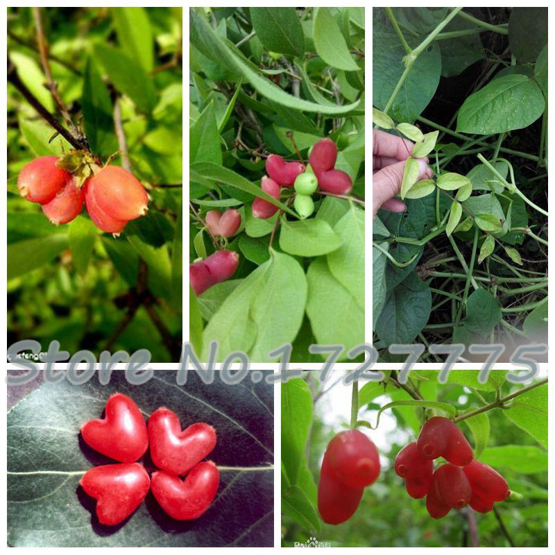 Aliexpress.com : Buy Succulent Plants Pitchfork loquat ... Leeches Fruit Tree