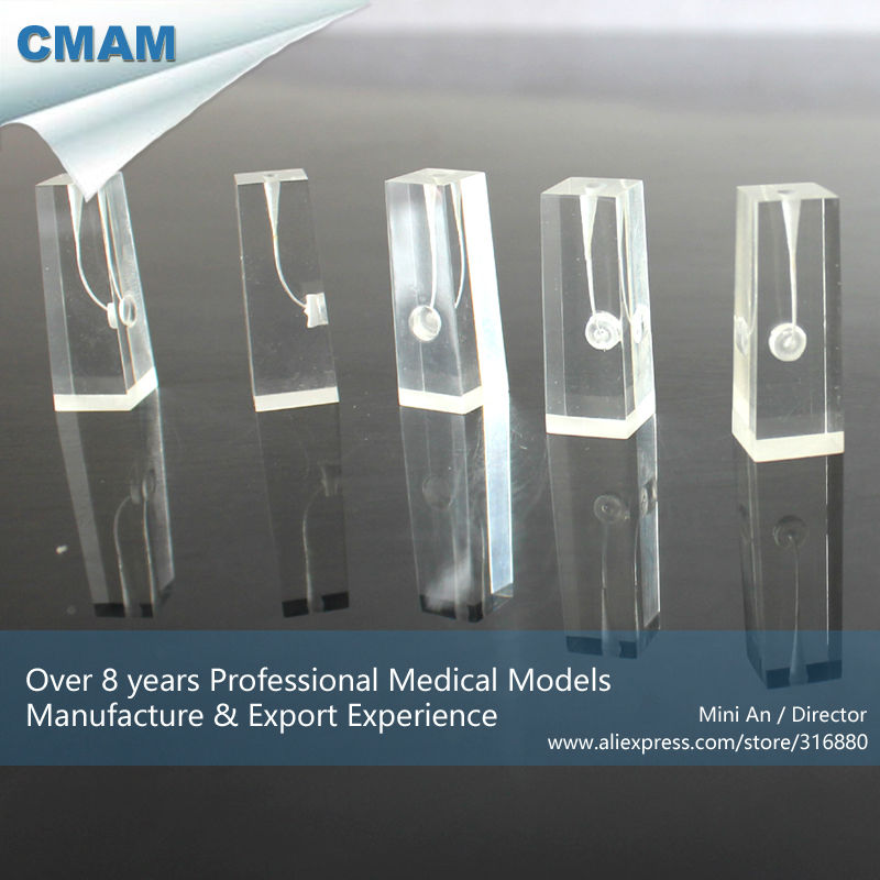 12579 CMAM-TOOTH07 Unstained Root Canal Endodontic Tooth Model in Transparent Block, 5pcs / pack key to endodontic success chemical means of root canal sterilization