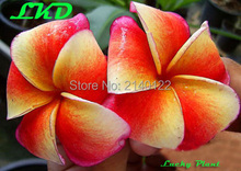 7 to15inch Rooted Plumeria Plant Thailand Rare Real Frangipani Plants no259-siamaurora-17