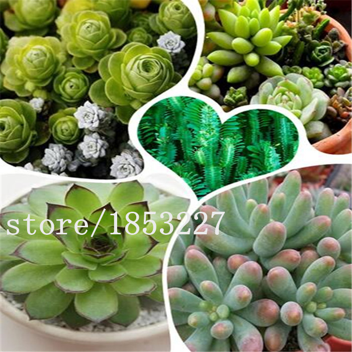 Amazing Office Plants For Sale Part - 8: Office Plants For Sale Compare Prices On Succulent Plants Sale- Online  Shopping/buy Low