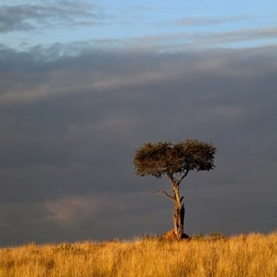 Single Umbrella Thorn Acacia Tree At Sunset Masai Mara Game Reserve
