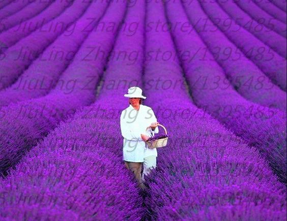 200 teile/beutel Französisch Provence Lavendel Samen -- Sehr Duftenden Gut Wachsen Können In Topf Oder Bonsai für hausgarten