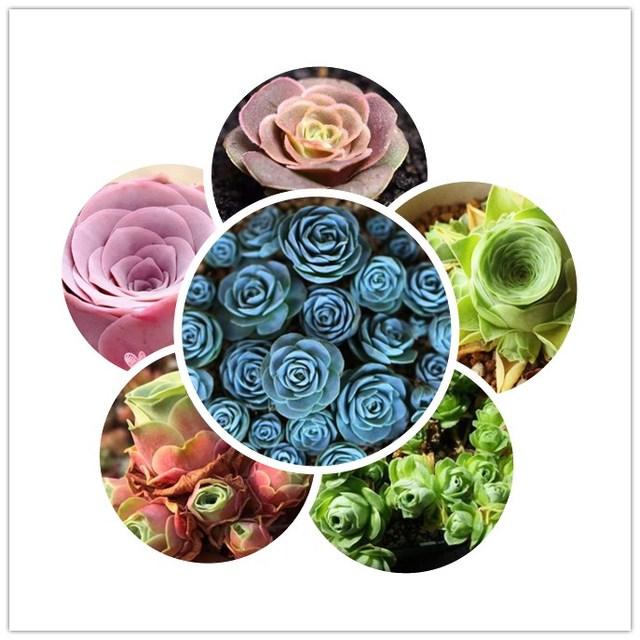 Mini mountain Rose 100 pcs Greenovia Rosa Verde Jardim Bonsai Flor Linda Planta Suculenta planta de carne Flor Bonsai