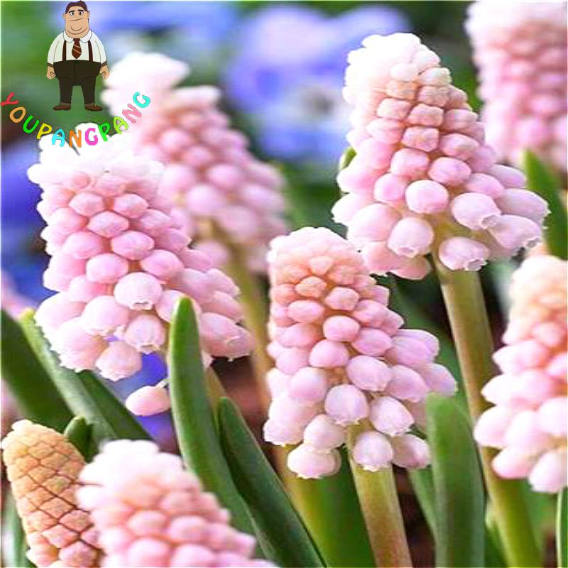 Aliexpress.com : Buy 100pcs/bag Hyacinth Seeds Garden Bonsai ...