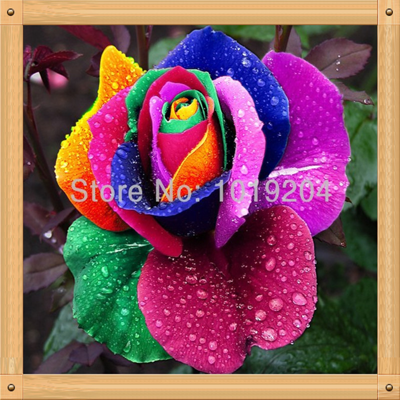 Buy 200pc flower seeds from beautiful for Buy rainbow rose seeds