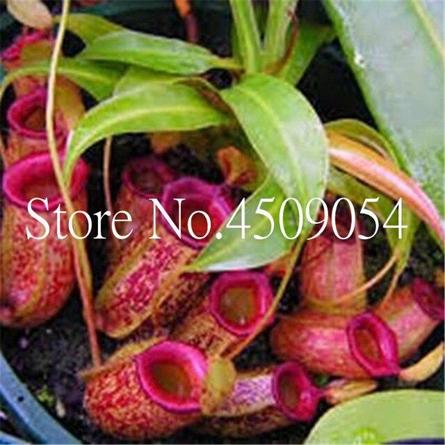 Il trasporto Libero 100 pz Nepenthes bonsai Balcone Semi di Dionaea Muscipula Bonsai In Vaso Piante grasse succulente plantas Carnivora Seedsplants