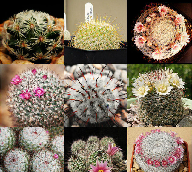 Mixed Cactus Seeds, 200pcs/pack