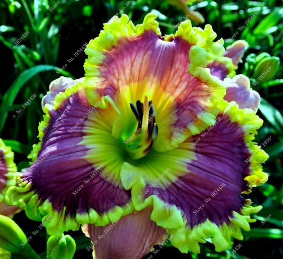 Новый 100 шт./пакет Свежие Редкие Гибридный Лилейник цветы Hemerocallis Лили крытый бонсай дома и сада для цветочного горшка