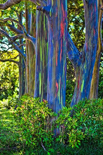 200pcs/bag eucalyptus seeds tropical tree seeds home decoration beautiful eucalyptus tree garden plant rainbow eucalyptus tree