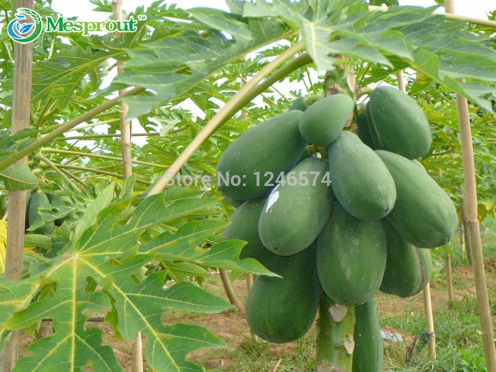 achetez en gros papaye fruits arbre en ligne des grossistes papaye fruits arbre chinois. Black Bedroom Furniture Sets. Home Design Ideas