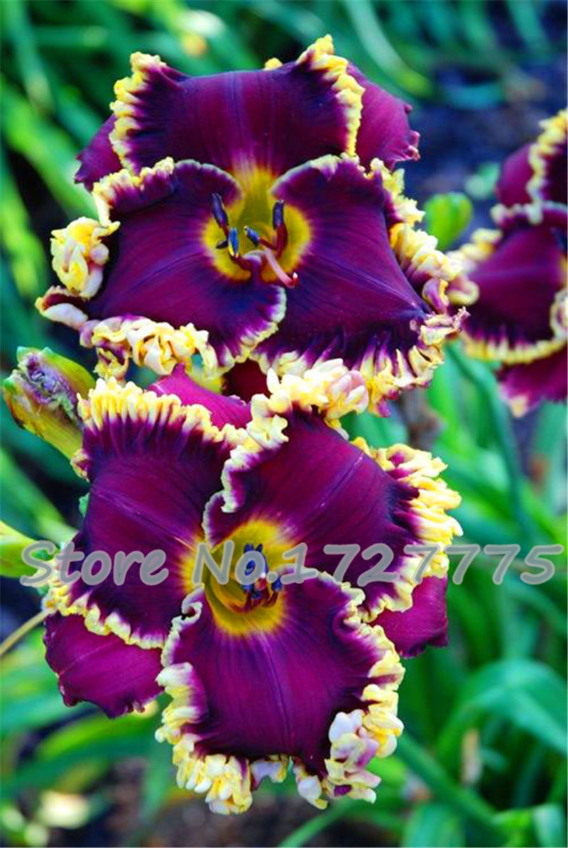 Flower seeds,100 PC lily seed, 25 varieties bonsai French perfume lily seed, courtyard beautiful plants