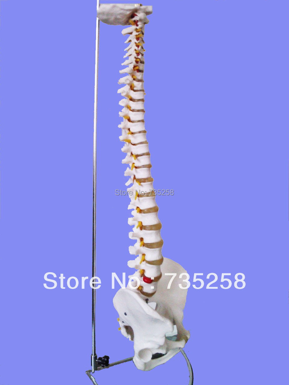 Life-Size Vertebral Column With Pelvis Model, Spinal Bone Model,Spine Model vertebral column model with pelvis femur heads and sacrum 45cm spine model with intervertebral disc