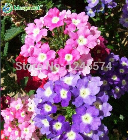 40 Pieces/bag, Verbena Seed,Garden Verbena ,Potted Planting,planting  Seasons, Flowering Plants In Bonsai From Home U0026 Garden On Aliexpress.com |  Alibaba ...