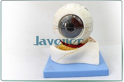 Magnify Human Anatomical Eyeball Anatomy Medical Model Simulation Hi-Q human female pelvic section anatomical model medical anatomy on the base