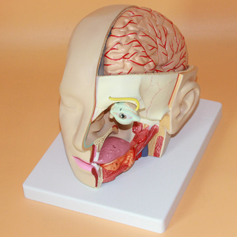 Head Brain Cerebral Artery Anatomy Brain Model Medical Neurological