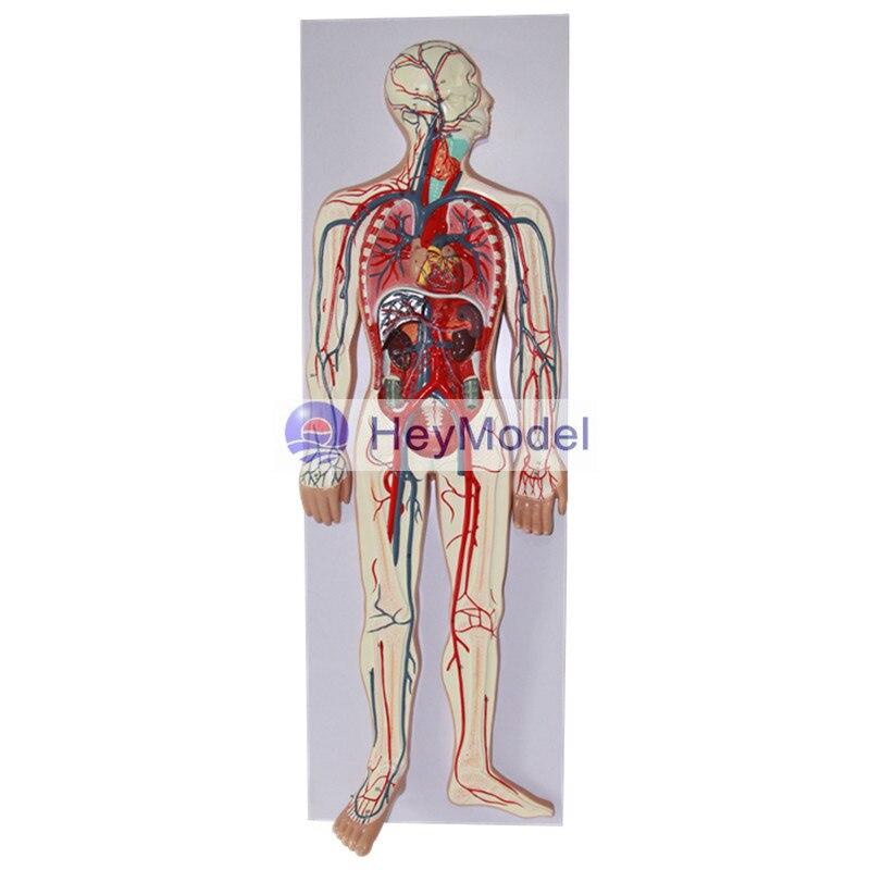 HeyModel Sistema Circolatorio del Sangue Umano ModelloHeyModel Sistema Circolatorio del Sangue Umano Modello