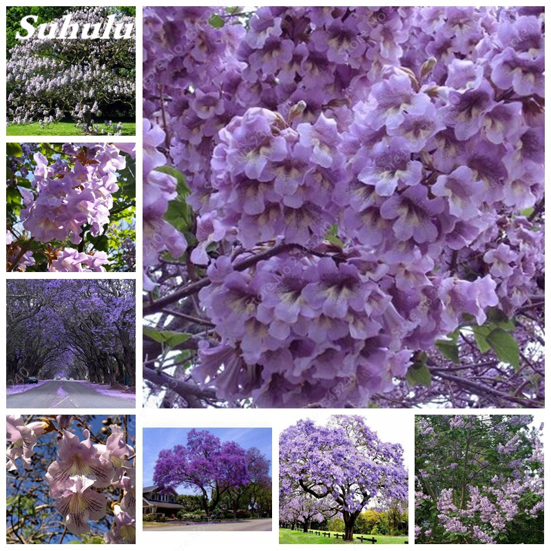 1000 Pcs/bag Paulownia , Royal Empress Tree (Paulownia Tomentosa), Ourdoor Plants Flower Home Garden Pot Plants