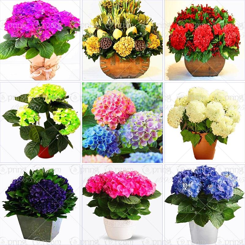 Compra hortensias planta en maceta online al por mayor de - Semillas de hortensias ...