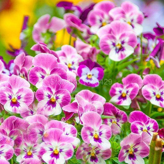 Pink pansy seed 50 seeds of each pack beautiful colors bright bonsai pink pansy seed 50 seeds of each pack beautiful colors bright bonsai potted plants for home mightylinksfo