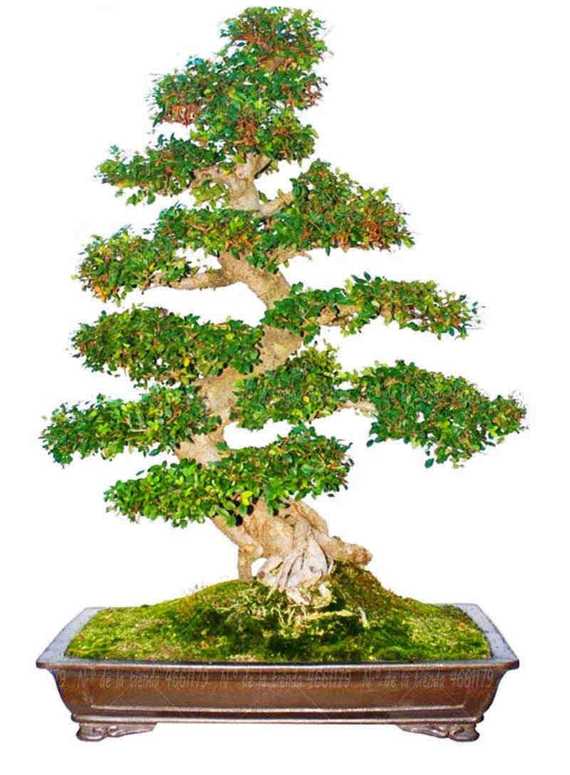 20 قطعة/الحقيبة الكافور بونساي النبات الأسرة الديكور النباتية حديقة الغابات زهرة بوعاء النباتات شجرة