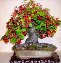 Rare mini bonsai fruit cherry plant organic potted tree for home garden 10pcs/bag