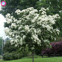 Rare Variety!20 pcs/bag Real kousa dogwood seeds beautiful bonsai tree plant seeds Perennial potted home&garden 95% Survive rate