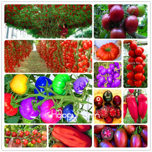 New Fresh Seeds  20 Pcs/Lot Rainbow Tomato seeds, bonsai organic vegetable & fruit seeds,potted plant for home &garden