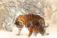 DIY frame Tiger Mama & Baby In The Snow Big Cats Wild Animal posters and prints home decor art silk Fabric Poster Print