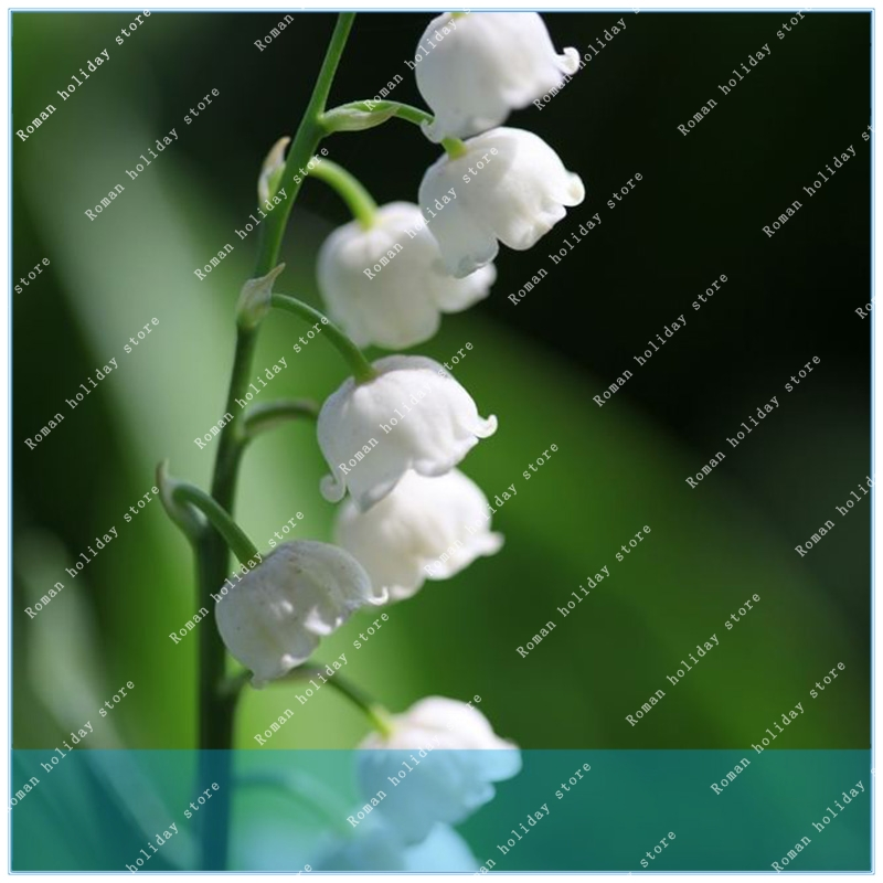 Systematic Zlking 100pcs Lily Of The Valley Perennial Climbing Plant Convallaria Majalis Bonsai Flower Pot To Win Warm Praise From Customers Garden Supplies Garden Pots & Planters