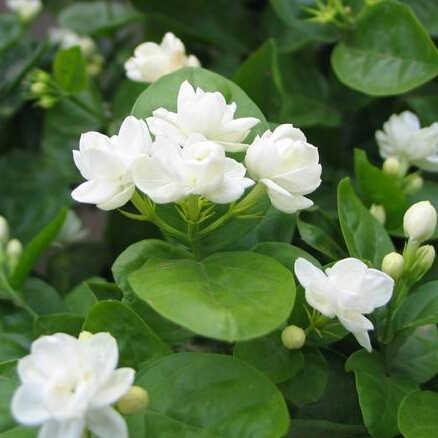 Bonsai bianco fiore di gelsomino, fragrante pianta di gelsomino arabo 50pcs