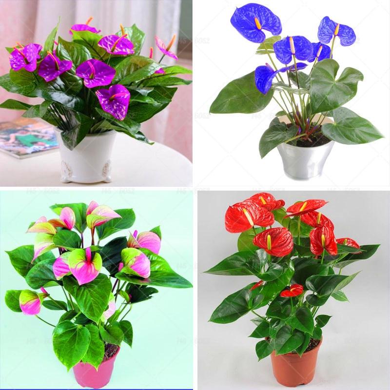 100st Bonsai Anthurium frön Anthurium Andraeanum Linden Araceae - Trädgård