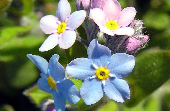 Blue Pink Forget Me Not Flower Seeds Rose Myosotis Scorpioides Sylvatica Fresh Seed Packet In Bonsai From Home Garden On Aliexpress Alibaba Group