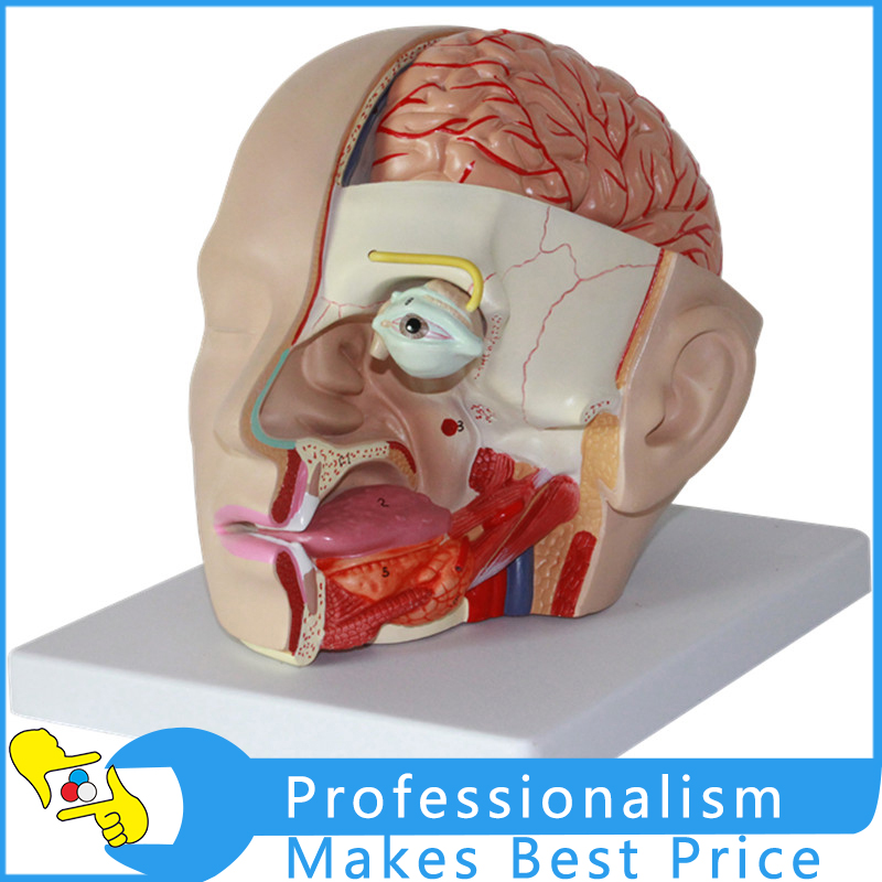 1:1 Human Head Anatomical Model Brain Model 4 Parts Brain Model Oral Nasopharyngeal Head Brain Anatomy Model cmam nasal01 section anatomy human nasal cavity model in 3 parts medical science educational teaching anatomical models