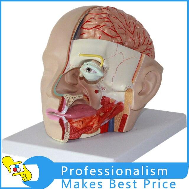 11 Human Head Anatomical Model Brain Model 4 Parts Brain Model Oral