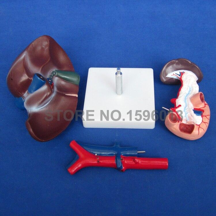 Человека модель печени с поджелудочной железы и кишки, анатомическая модель печени, печени, поджелудочной железы и модель двенадцатиперстной кишки