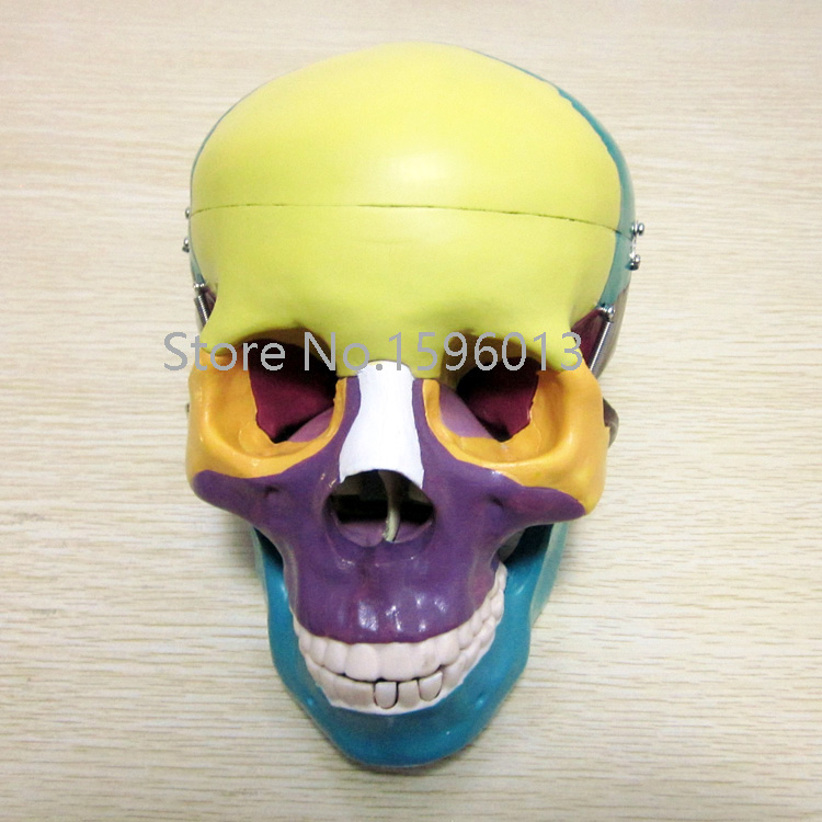 Life Size Skull with Colored Bones Model, Human Skull anatomy Model ...