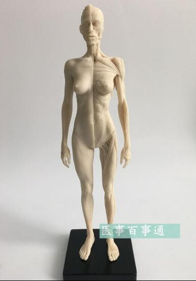 The 30cm medical sculpture drawing CG refers to the anatomy model of human musculoskeletal with skull structure